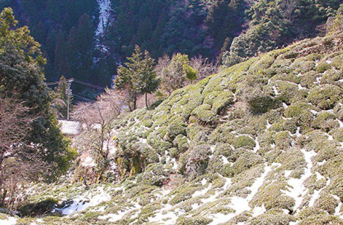 春日村の山の斜面の茶畑