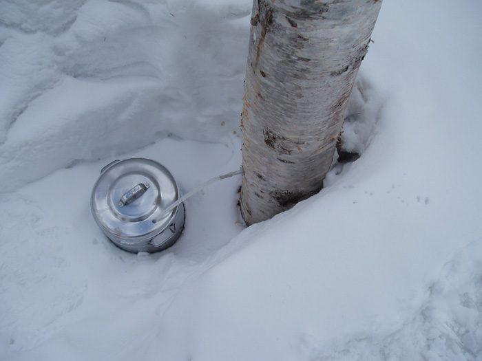 白樺樹液を採取しているところ