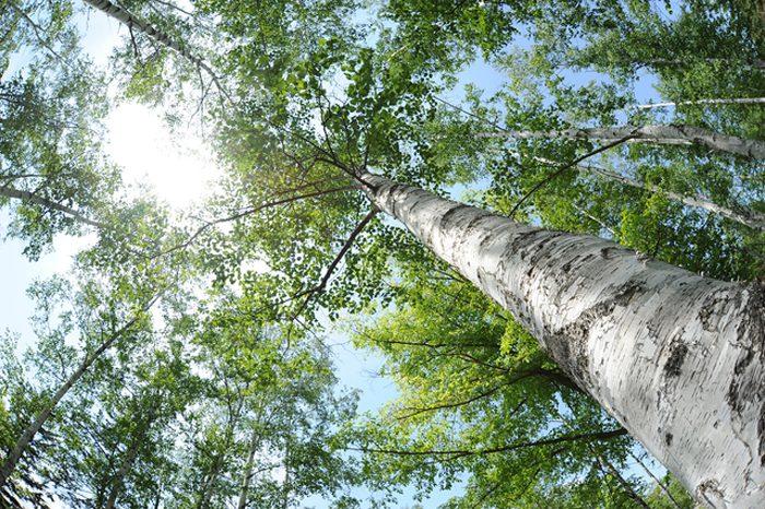 白樺の原生林