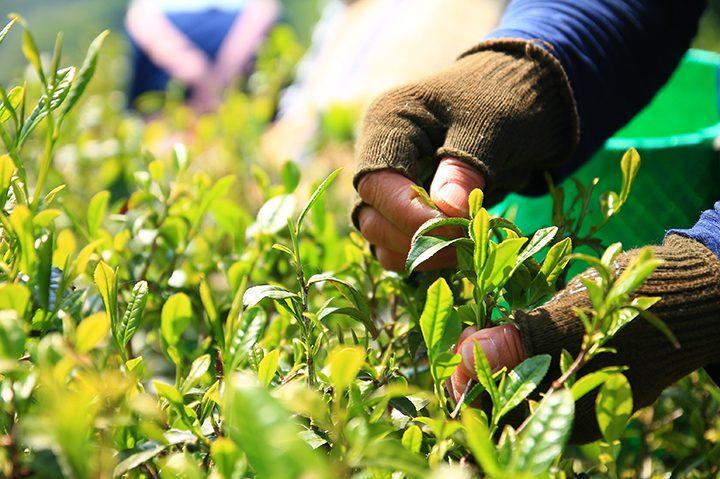 春日村でお茶の手摘み