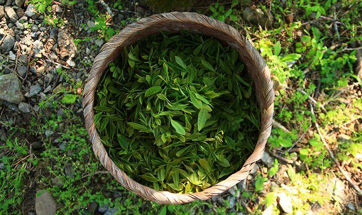 採れたての茶葉