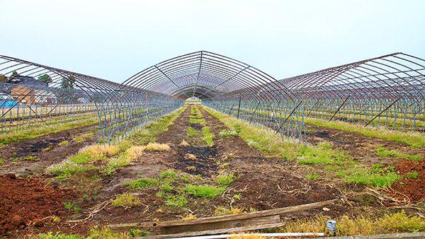 富山のへちまの里のへちま畑