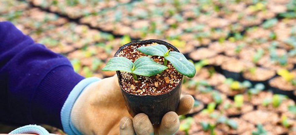 この小さなへちまの苗が9月には大きなへちまに育ちます。
